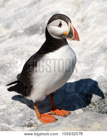Atlantic Puffin X