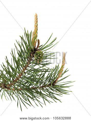 Pine Brunch