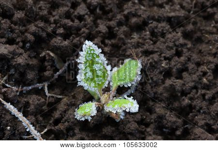 Frozen Sprout