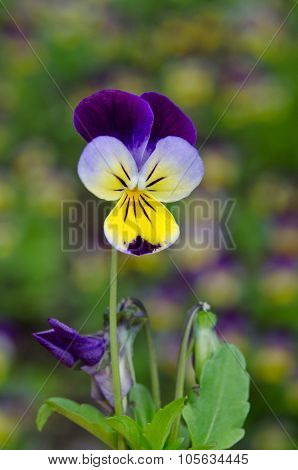 Single Pansy Flower In A Spring Garden