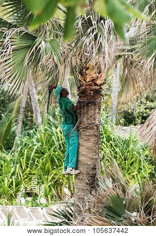 Punta Cana, Dominican Republic - circa October 2015: Man cutting palm leaves