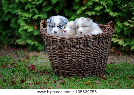 Australian Shepherd Puppies In Wicker Basket On Garden Grass
