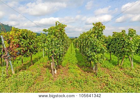 In The Vineyard - Rows Of Grapes