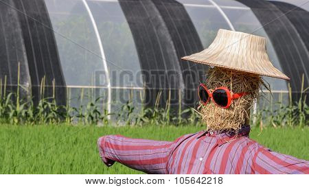 Scarecrow With Sunglassed In Paddy Field