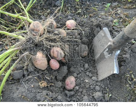 Gathering of potato crop