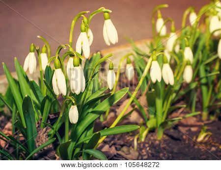 Snowdrops - The First Spring Flowers.