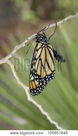 Monarch Butterfly Drying Wings
