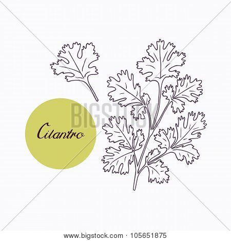 Hand drawn cilantro branch with leves isolated on white
