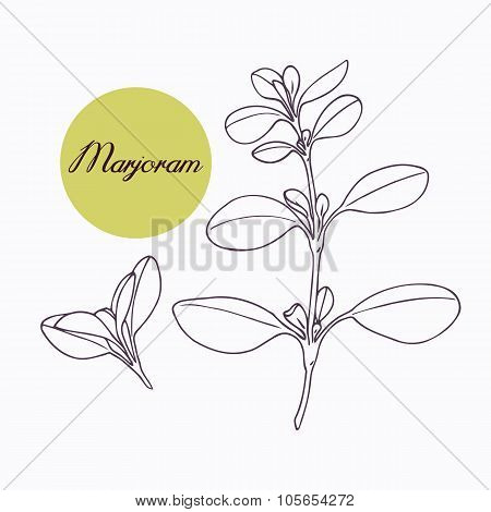 Hand drawn marjoram branch with leves isolated on white
