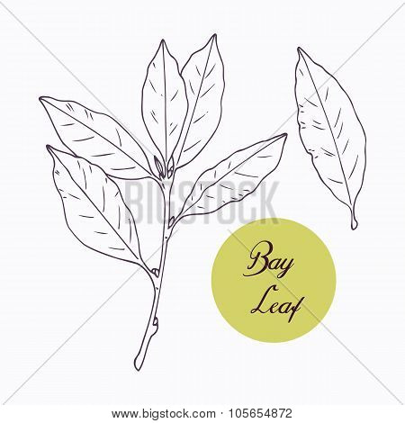 Hand drawn bay leaf and branch with leves isolated on white