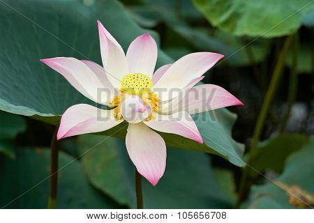 Blooming of a lotus flower
