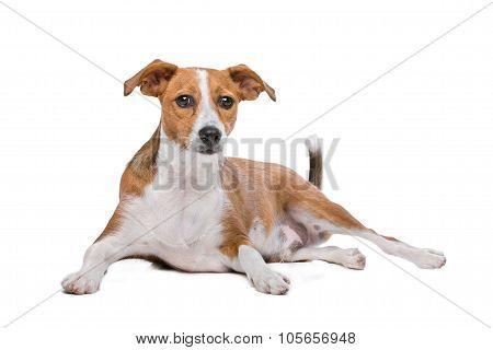 Mix Podenco Dog