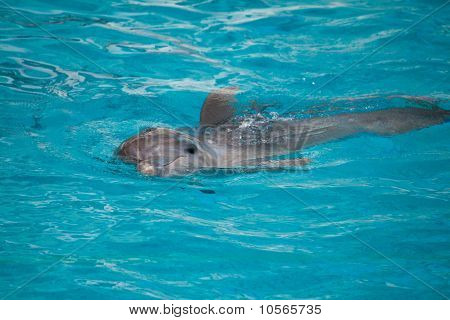 Dolphin, Swimming In Water