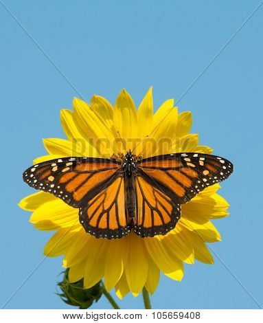 Female Monarch butterfly feeding on a wild sunflower against clear blue sky