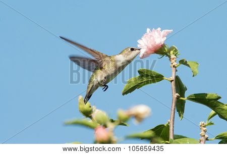 Female Ruby-throated Hummingbird reaching into an Althea flower