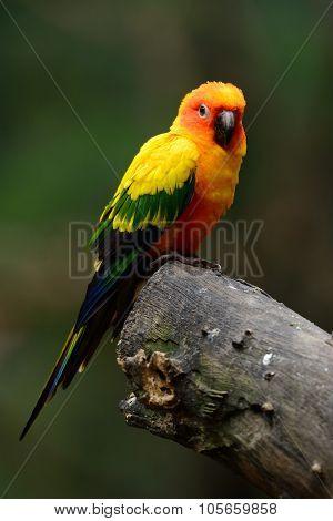 Sun Conure (aratinga Solstitialis)
