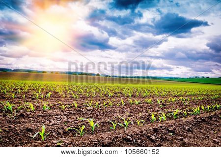Agricultural Field With Corn Sprouts