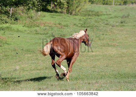 Beautiful Young Chestnut Colored Stallion Galloping On Pasture Summertime
