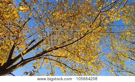 Vivid Bright Yellow Maple Tree Leaves.