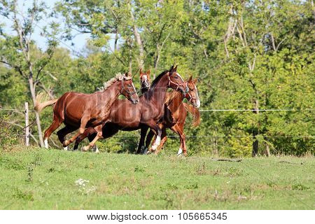 Beautiful Young Stallions Galloping On Pasture Summertime
