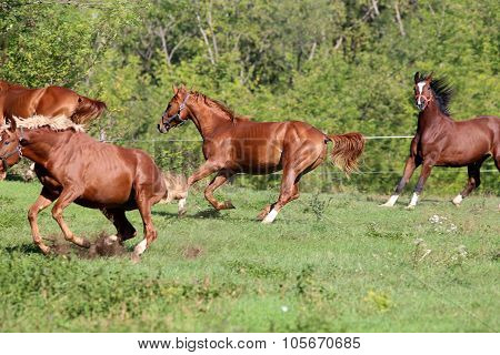 Four Beautiful Young Stallions Galloping On Pasture Summertime