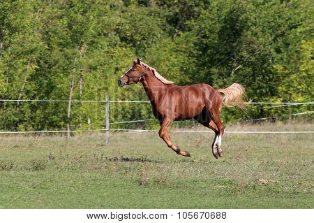 Purebred Stallion Flying On Meadow In A Sunny Day