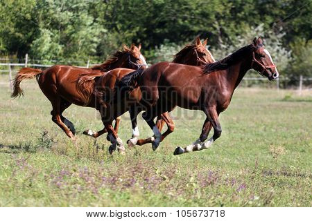 Purebred Horses Runs On Meadow In A Sunny Day