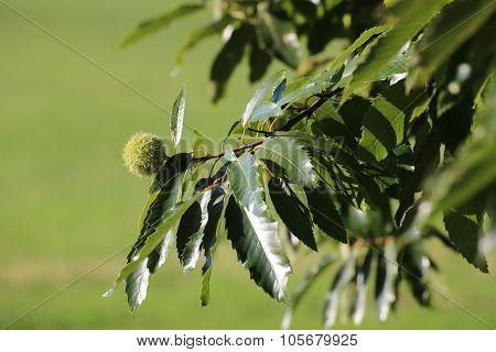 Single Sweet Chestnut (castanea Sativa) On A Tree