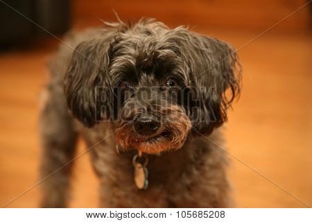 An old black and gray dog