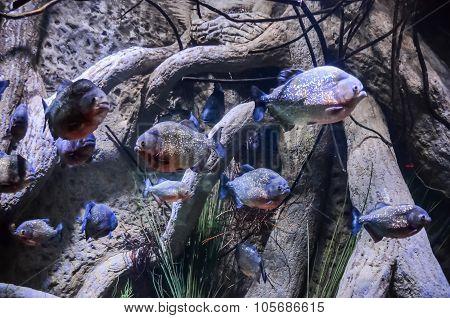 Some Orange Piranhas