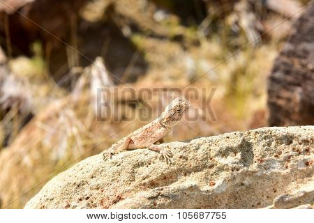 Mimetic Lizard At Petrified Forest, Khorixas, Namibia