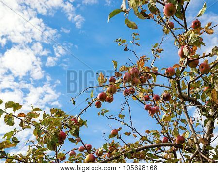 Upward View Of An Autumn Apple Tree Against Blue Sky And White Clouds