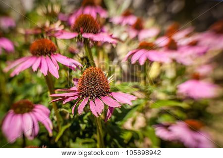 Purple Echinacea flowers
