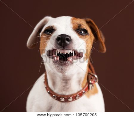 Grin puppy. Fun emotional dog
