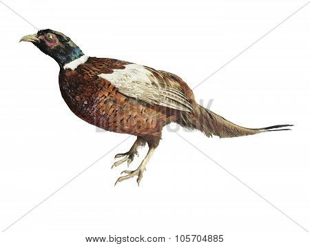 Colorful Common Pheasant Isolated On White