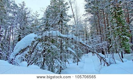 Polar forest ...