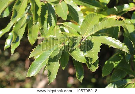 Several Leaves Of The Sweet Chestnut (castanea Sativa)