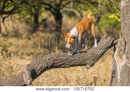 Wild Basenji dog goes down to its troop from the leader's pedestal