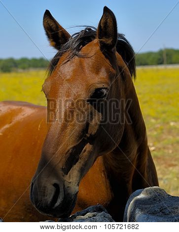 Beautiful brown thoroughbred horse head