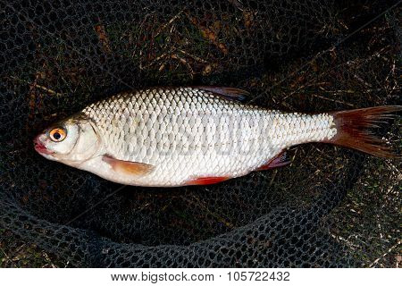 Close Up View Of Roach Fish Just Taken From The Water.