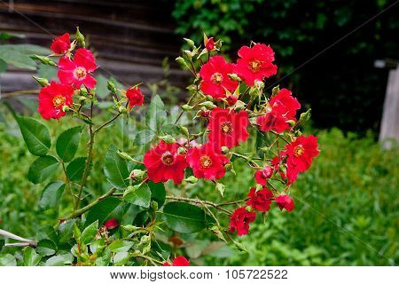 Red Flowers Of Dog-rose (rosehip) Growing In Nature.