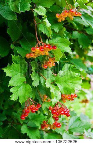 Bunch Of Red Berries Of A Gu Elder Rose Or Viburnum Opulus Shrub.
