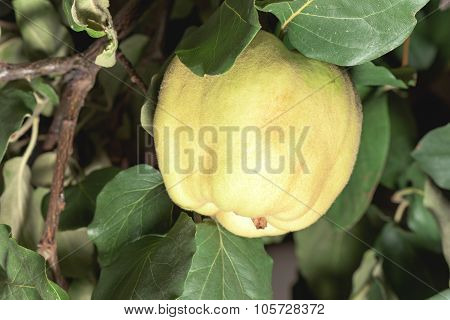 Yellow quince on tree with green leaves