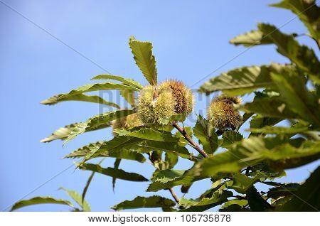 Urchins On Chestnut Tree