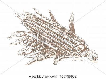 Two Fresh Corn-cobs