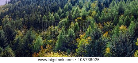 Beautiful Gymnospermous Wood Forest Panoramic View