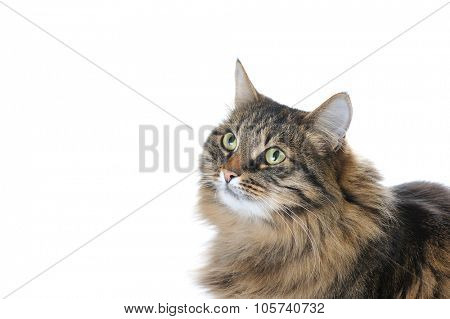 cat looking up isolated on white background