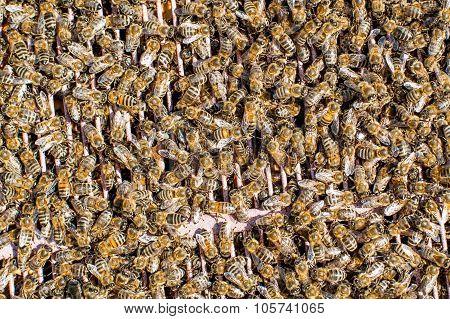 Honey Bees Working