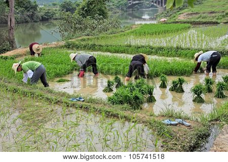 YANGSHUO, GUANGXI REGION, CHINA - JUNE 23, 2008: Unidentified Chinese women planting rice on the water rich banks of the Li river.
