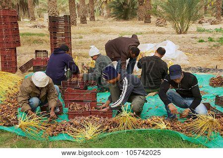 Men harvest dades in El Goula Tunisia.